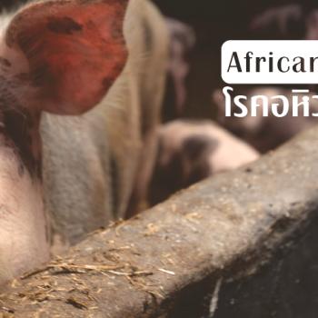 โรคอหิวาต์แอฟริกาในสุกร (African swine fever)